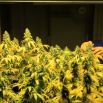Karl inspecting cannabis buds.