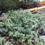 Cannabis Growing Room
