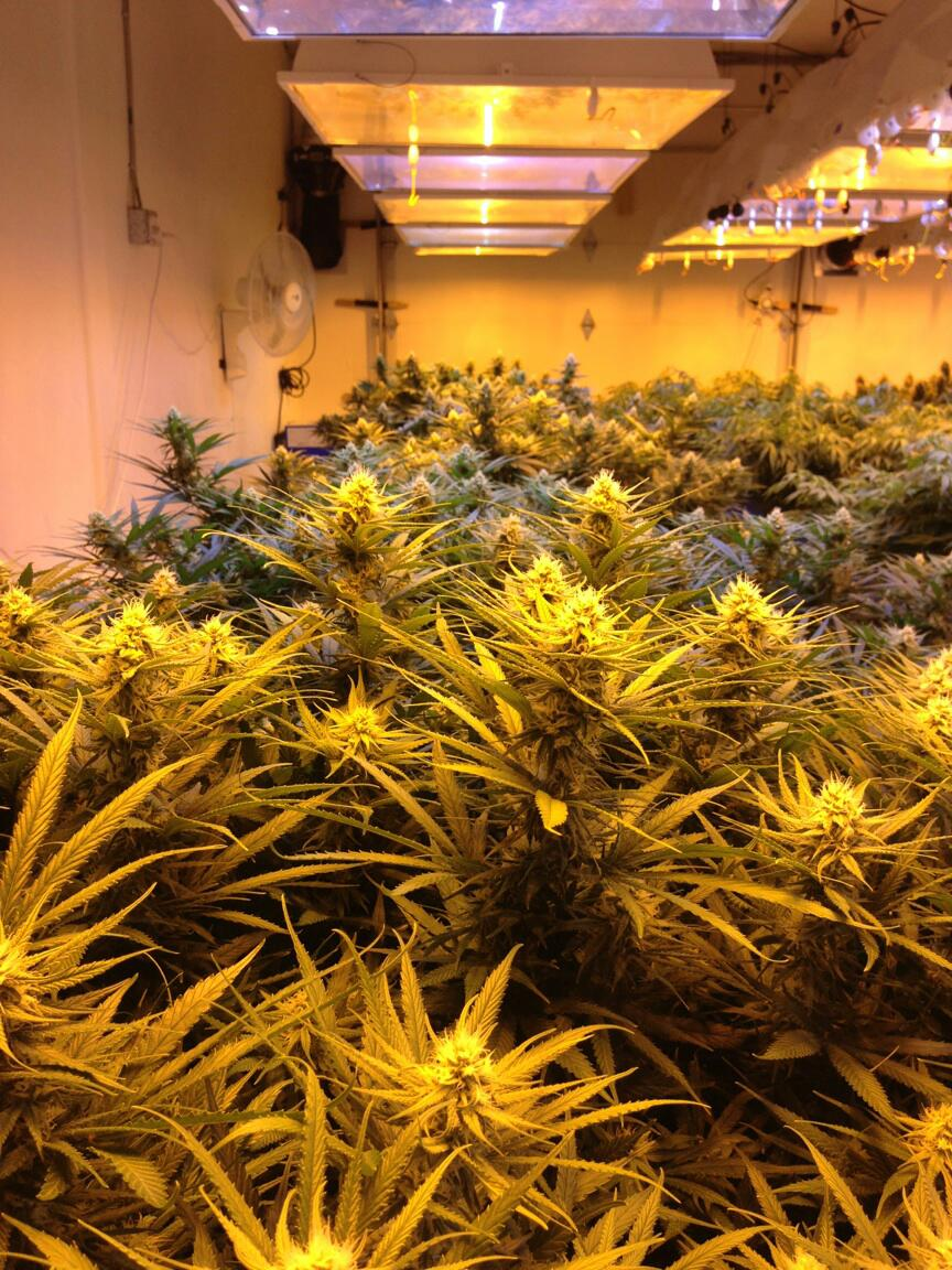 Cannabis Growing Guide Amp Gallery Seeds Amp Supplies Canna