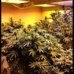 Cannabis Flower Stage