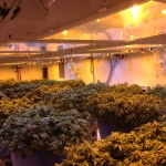 Cannabis Production - Growing Room