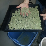 Cannabis Processing - Trimmed Cannabis Flowers