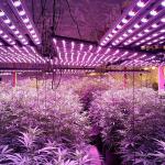 Flowering under LED